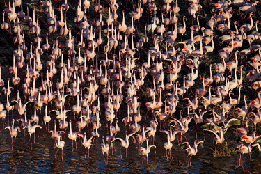 Lesser flamingos flock in their thousands, known as a flamboyance - Kenya environment,ecosystem,Habitat,Aquatic,water,water body,Colonisation,Colony,Colonial,pink,coloration,Colouration,colours,color,colors,Colour,Lake,lakes,elevated view,Aerial,migration,migrate,Migratory,