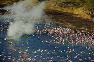 Lake shores of Nakuru and Bogoria filled with thousands of lesser flamingos - Kenya environment,ecosystem,Habitat,elevated view,Aerial,pink,migration,migrate,Migratory,travel,coloration,Colouration,Aquatic,water,water body,Lake,lakes,Colonisation,Colony,Colonial,colours,color,colors,