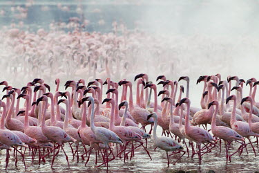Lake shores of Nakuru and Bogoria filled with thousands of lesser flamingos - Kenya pink,environment,ecosystem,Habitat,Aquatic,water,water body,Lake,lakes,Colonisation,Colony,Colonial,coloration,Colouration,colours,color,colors,Colour,flamingo,flamingos,bird,birds,Lesser flamingo,Pho