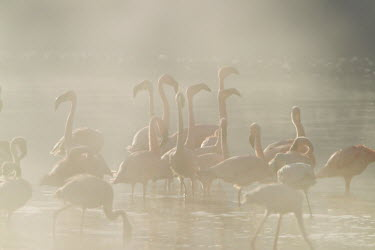Lake shores of Nakuru and Bogoria filled with thousands of lesser flamingos - Kenya Colonisation,Colony,Colonial,environment,ecosystem,Habitat,Lake,lakes,Aquatic,water,water body,colours,color,colors,Colour,coloration,Colouration,pink,flamingo,flamingos,bird,birds,Lesser flamingo,Pho