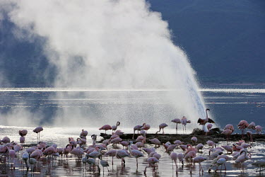 Lake shores of Nakuru and Bogoria filled with thousands of lesser flamingos - Kenya coloration,Colouration,environment,ecosystem,Habitat,Colonisation,Colony,Colonial,pink,colours,color,colors,Colour,Lake,lakes,Aquatic,water,water body,flamingo,flamingos,bird,birds,Lesser flamingo,Pho