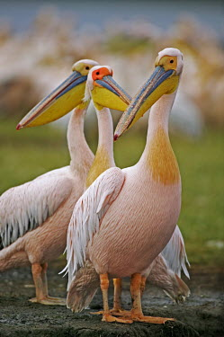 Great white pelicans - Kenya face,Bill,bills,Mouth,mouthpart,mouths,mouthparts,environment,ecosystem,Habitat,Aquatic,water,water body,Lake,lakes,pelican,bird,birds,Great white pelican,Pelecanus onocrotalus,Pelicans and Cormorants