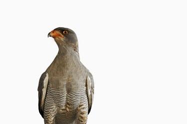 Pale chanting-goshawk - Africa Pale chanting-goshawk,Pale chanting goshawk,goshawk,bird,bird of prey,raptor,Animalia,Chordata,Aves,Accipitriformes,Accipitridae,Melierax canorus