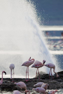 Lake shores of Nakuru and Bogoria filled with thousands of lesser flamingos - Kenya Lake,lakes,environment,ecosystem,Habitat,pink,coloration,Colouration,Colonisation,Colony,Colonial,Aquatic,water,water body,colours,color,colors,Colour,flamingo,flamingos,bird,birds,Lesser flamingo,Pho