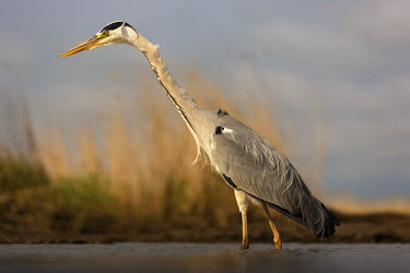 Grey heron fishing - Africa Aquatic,water,water body,environment,ecosystem,Habitat,Lake,lakes,predation,hunt,hunter,stalking,Hunting,stalker,hungry,stalk,hunger,food,feed,eat,Feeding,eating,heron,bird,birds,Grey heron,Ardea cine