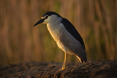 Black-crowned night-heron - Africa heron,herons,wading brid,wader,bird,birds,Black-crowned night-heron,Nycticorax nycticorax,Aves,Birds,Ciconiiformes,Herons Ibises Storks and Vultures,Chordates,Chordata,Herons, Bitterns,Ardeidae,night