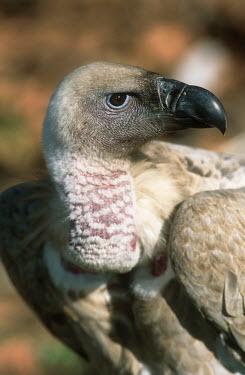 Cape vulture - Drakensberg Mountains, South Africa Portrait,face picture,face shot,Close up,vulture bird,birds,Cape vulture,Gyps coprptheres,Aves,Birds,Accipitridae,Hawks, Eagles, Kites, Harriers,Falconiformes,Hawks Eagles Falcons Kestrel,Chordates,Ch