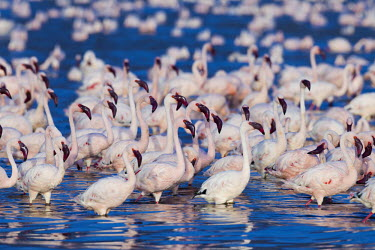 Lake shores of Nakuru and Bogoria filled with thousands of lesser flamingos - Kenya Aquatic,water,water body,pink,Lake,lakes,Colonisation,Colony,Colonial,coloration,Colouration,colours,color,colors,Colour,environment,ecosystem,Habitat,flamingo,flamingos,bird,birds,Lesser flamingo,Pho