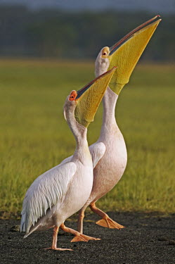 Great white pelicans - Kenya face,Lake,lakes,environment,ecosystem,Habitat,Mouth,mouthpart,mouths,mouthparts,Bill,bills,Aquatic,water,water body,pelican,bird,birds,Great white pelican,Pelecanus onocrotalus,Pelicans and Cormorants