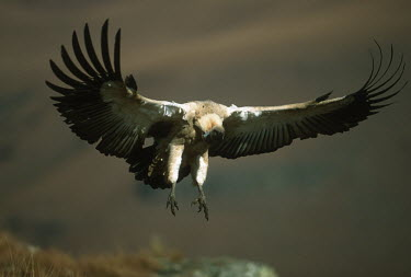 Cape vulture - Drakensberg Mountains, South Africa Altitude,high altitude,in-air,in flight,flight,in-flight,flap,Flying,fly,in air,flapping,Terrestrial,ground,action,movement,move,Moving,in action,in motion,motion,Montane,Mountain,environment,ecosyste