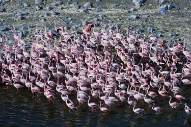 Lesser flamingos flock in their thousands, known as a flamboyance - Kenya colours,color,colors,Colour,Colonisation,Colony,Colonial,coloration,Colouration,Lake,lakes,elevated view,Aerial,Aquatic,water,water body,pink,environment,ecosystem,Habitat,migration,migrate,Migratory,