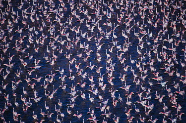 Lesser flamingos flock in their thousands, known as a flamboyance - Kenya pink,Aquatic,water,water body,migration,migrate,Migratory,travel,colours,color,colors,Colour,Lake,lakes,Colonisation,Colony,Colonial,coloration,Colouration,environment,ecosystem,Habitat,elevated view,