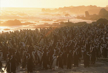 A colony of African penguins - South Africa Morning,Dawn,Sunset sky,Daybreak,Offspring,children,young,babies,family,Evening,nightfall,sunsets,dusk,sun set,Sunset,parents,parent,look after,Paternal,Colonisation,Colony,Colonial,food,feed,hungry,e