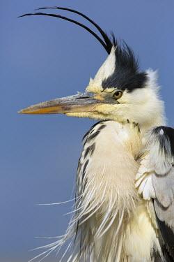 Grey heron - Africa Sky,blue skies,sunny,Blue sky,bright,heron,bird,birds,Grey heron,Ardea cinerea,Aves,Birds,Chordates,Chordata,Ciconiiformes,Herons Ibises Storks and Vultures,Herons, Bitterns,Ardeidae,H�ron cendr�,Anim