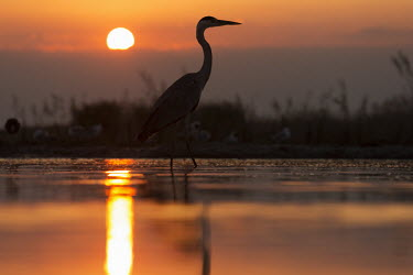 Grey heron at sunset - Africa Morning,Dawn,Sunset sky,Daybreak,environment,ecosystem,Habitat,Sky,outline,silhouetted,shadow,Silhouette,shadows,silhouettes,Evening,nightfall,sunsets,dusk,sun set,Sunset,Aquatic,water,water body,Lake