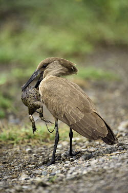 Hamerkop eating a female toad aborting her spawn- Africa bird,birds,Hamerkop,Scopus umbretta,Pelicans and Cormorants,Pelecaniformes,Chordates,Chordata,Aves,Birds,Scopidae,Ombrette,Carnivorous,Aquatic,Flying,umbretta,Arboreal,Streams and rivers,Savannah,Fres