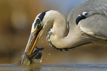 Grey heron fishing - Africa heron,bird,birds,Grey heron,Ardea cinerea,Aves,Birds,Chordates,Chordata,Ciconiiformes,Herons Ibises Storks and Vultures,Herons, Bitterns,Ardeidae,H�ron cendr�,Animalia,Ardea,Flying,Temperate,Africa,As