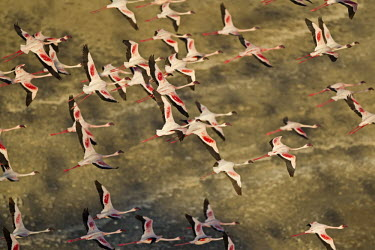 Lake shores of Nakuru and Bogoria filled with thousands of lesser flamingos - Kenya flamingo,flamingos,bird,birds,Lesser flamingo,Phoenicopterus minor,Ciconiiformes,Herons Ibises Storks and Vultures,Flamingos,Phoenicopteriformes,Chordates,Chordata,Phoenicopteridae,Aves,Birds,Flamenco