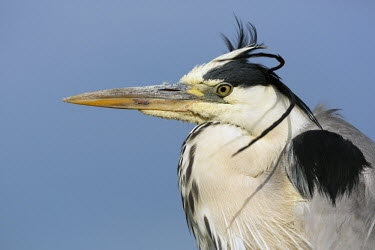 Grey heron - Africa heron,bird,birds,Grey heron,Ardea cinerea,Aves,Birds,Chordates,Chordata,Ciconiiformes,Herons Ibises Storks and Vultures,Herons, Bitterns,Ardeidae,H�ron cendr�,Animalia,Ardea,Flying,Temperate,Africa,As