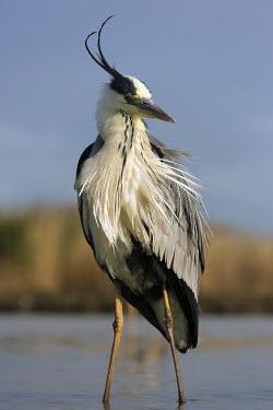 Grey heron - Africa heron,bird,birds,Grey heron,Ardea cinerea,Aves,Birds,Chordates,Chordata,Ciconiiformes,Herons Ibises Storks and Vultures,Herons, Bitterns,Ardeidae,H�ron cendr�,Animalia,Ardea,Flying,Temperate,Africa,As