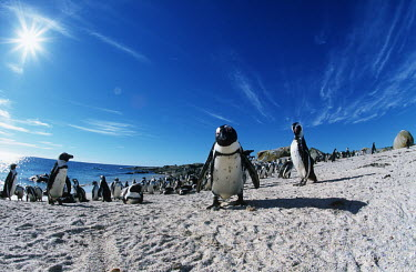 African penguins - South Africa mature,fully grown,Adult,grown up,adults,Colonisation,Colony,Colonial,Offspring,children,young,babies,parents,parent,look after,Paternal,Juvenile,immature,child,baby,infants,infant,Sky,family,chicks,C