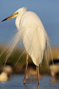 Great egret - Africa feathers,Feather,Plumage,plumes,plume,Sky,blue skies,sunny,Blue sky,bright,egret,bird,birds,Great egret,Casmerodius albus,Ciconiiformes,Herons Ibises Storks and Vultures,Herons, Bitterns,Ardeidae,Chor