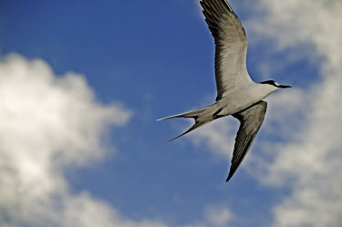 Sooty tern - Seychelles tern,bird,birds,Sooty tern,Sterna fuscata,Laridae,Gulls, Terns,Ciconiiformes,Herons Ibises Storks and Vultures,Aves,Birds,Chordates,Chordata,Charadriiformes,Shorebirds and Terns,Onychoprion fuscatus,S