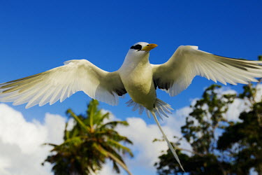 White-tailed tropicbird - Seychelles bird,birds,White-tailed tropicbird,Phaethon lepturus,Chordates,Chordata,Ciconiiformes,Herons Ibises Storks and Vultures,Pelicans and Cormorants,Pelecaniformes,Phaethontidae,Tropicbirds,Aves,Birds,whit