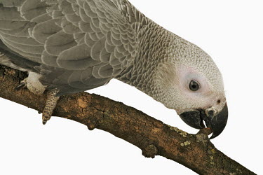 African grey parrot parrot,bird,birds,African grey parrot,Psittacus erithacus,Parrots,Psittaciformes,Parakeets, Macaws, Parrots,Psittacidae,Chordates,Chordata,Aves,Birds,African gray parrot,grey parrot,Agricultural,Appen