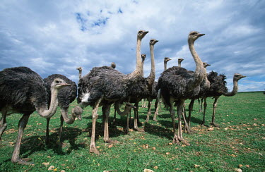 Ostrich family - Morocco family,Neck,necks,Plumage,plumes,plume,feathers,Feather,bird,flightless bird,birds,Ostrich,Struthio camelus,Ostriches,Struthionidae,Aves,Birds,Struthioniformes,Chordates,Chordata,Common ostrich,Autruc