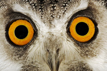 Southern white-faced owl eye colour,Facial portrait,face,Portrait,face picture,face shot,Macro,macrophotography,eyes,Eye,Close up,Orange,Orange eyes,owl,bird of prey,birds,bird,Southern white-faced owl,Ptilopsis granti,Owls,S