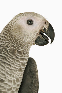 African grey parrot White background,Perching,perched,perch,Close up,Portrait,face picture,face shot,nothing,plain background,nothing in background,Plain,blank background,blank,parrot,bird,birds,African grey parrot,Psitt