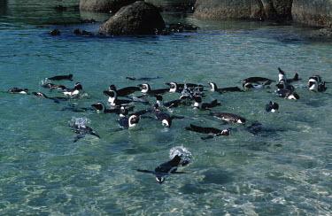 African penguins - South Africa beaches,Beach,coast,Coastal,coast line,coastline,Aquatic,water,water body,environment,ecosystem,Habitat,penguin,aquatic bird,bird,birds,penguins,African penguin,Spheniscus demersus,Aves,Birds,Chordate