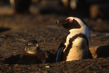 African penguins - South Africa penguin,aquatic bird,bird,birds,penguins,African penguin,Spheniscus demersus,Aves,Birds,Chordates,Chordata,Sphenisciformes,Penguins,Spheniscidae,jackass penguin,black-footed penguin,Ping�ino del Cabo,