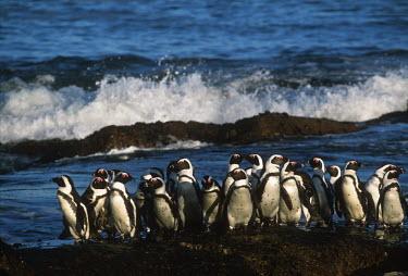 African penguins - South Africa coast,Coastal,coast line,coastline,beaches,Beach,environment,ecosystem,Habitat,Aquatic,water,water body,penguin,aquatic bird,bird,birds,penguins,African penguin,Spheniscus demersus,Aves,Birds,Chordate