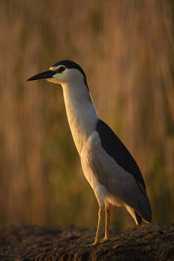 Black-crowned night-heron - Africa heron,herons,wading brid,wader,bird,birds,Black-crowned night-heron,Nycticorax nycticorax,Aves,Birds,Ciconiiformes,Herons Ibises Storks and Vultures,Chordates,Chordata,Herons, Bitterns,Ardeidae,night