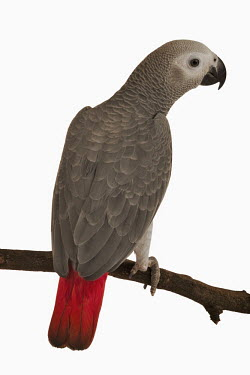 African grey parrot Close up,Portrait,face picture,face shot,White background,Perching,perched,perch,nothing,plain background,nothing in background,Plain,blank background,blank,parrot,bird,birds,African grey parrot,Psitt