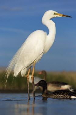 Great egret - Africa egret,bird,birds,Great egret,Casmerodius albus,Ciconiiformes,Herons Ibises Storks and Vultures,Herons, Bitterns,Ardeidae,Chordates,Chordata,Aves,Birds,great white heron,Great white egret,Egretta alba,