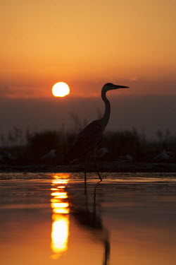 Grey heron at sunset - Africa heron,bird,birds,Grey heron,Ardea cinerea,Aves,Birds,Chordates,Chordata,Ciconiiformes,Herons Ibises Storks and Vultures,Herons, Bitterns,Ardeidae,H�ron cendr�,Animalia,Ardea,Flying,Temperate,Africa,As