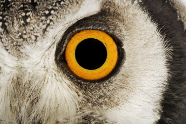 Southern white-faced owl Orange,Orange eyes,Close up,eyes,Eye,Portrait,face picture,face shot,Macro,macrophotography,face,eye colour,Facial portrait,owl,bird of prey,birds,bird,Southern white-faced owl,Ptilopsis granti,Owls,S