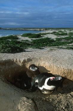 African penguins - South Africa Aquatic,water,water body,beaches,Beach,environment,ecosystem,Habitat,coast,Coastal,coast line,coastline,penguin,aquatic bird,bird,birds,penguins,African penguin,Spheniscus demersus,Aves,Birds,Chordate
