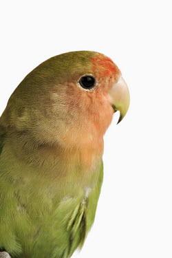 Rosy-faced lovebird Rosy-faced lovebird,lovebird,Animalia,Chordata,Aves,Psittaciformes,Psittacidae,Agapornis roseicollis,Agapornis roseicollis roseicollis,bird,birds,subspecies