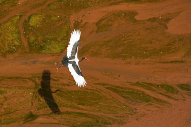 Saddle-billed stork - Africa stork,birds,bird,Saddle-billed stork,Ephippiorhynchus senegalensis,Aves,Birds,Chordates,Chordata,Storks,Ciconiidae,Ciconiiformes,Herons Ibises Storks and Vultures,Jabiru d'Afrique,Aquatic,Animalia,sen