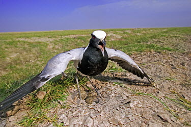 Blacksmith lapwing guarding eggs - Kenya Blacksmith lapwing,Vanellus armatus,Charadriidae,Lapwings, Plovers,Charadriiformes,Shorebirds and Terns,Aves,Birds,Chordates,Chordata,Blacksmith plover,Vanneau arm�,Wetlands,Temperate,Shore,Carnivorou