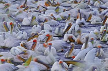 Flock of great white pelican - Kenya pelican,bird,birds,Great white pelican,Pelecanus onocrotalus,Pelicans and Cormorants,Pelecaniformes,Chordates,Chordata,Pelecanidae,Pelicans,Aves,Birds,P�lican blanc,Terrestrial,Pelecanus,Asia,Aquatic,