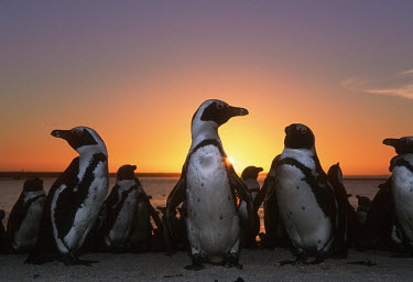 African penguins at sunset - South Africa penguin,aquatic bird,bird,birds,penguins,African penguin,Spheniscus demersus,Aves,Birds,Chordates,Chordata,Sphenisciformes,Penguins,Spheniscidae,jackass penguin,black-footed penguin,Ping�ino del Cabo,