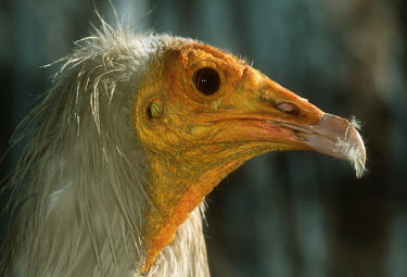 Egyptian vulture - Africa colours,color,colors,Colour,yellow,coloration,Colouration,Bill,bills,white,vulture bird,birds,Egyptian vulture,Neophron percnopterus,Accipitridae,Hawks, Eagles, Kites, Harriers,Chordates,Chordata,Aves