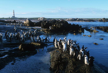 A colony of African penguins near a lighthouse - South Africa Aquatic,water,water body,beaches,Beach,mature,fully grown,Adult,grown up,adults,Offspring,children,young,babies,blue skies,sunny,Blue sky,bright,parents,parent,look after,Paternal,environment,ecosyste