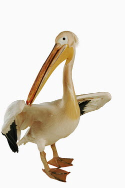 Great white pelican pelican,bird,birds,Great white pelican,Pelecanus onocrotalus,Pelicans and Cormorants,Pelecaniformes,Chordates,Chordata,Pelecanidae,Pelicans,Aves,Birds,P�lican blanc,Terrestrial,Pelecanus,Asia,Aquatic,