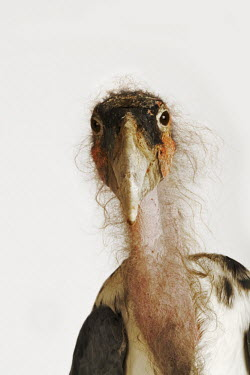 Marabou stork - Africa Portrait,face picture,face shot,White background,Facial portrait,face,Mouth,mouthpart,mouths,mouthparts,feathers,Feather,Bill,bills,nothing,plain background,nothing in background,Plain,blank backgroun